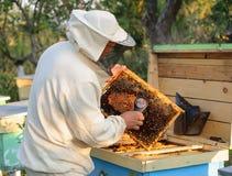 El apicultor considera abejas en panales con una lupa Foto de archivo libre de regalías