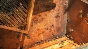 El apicultor está sacudiendo las abejas de un marco en la colmena durante cosecha de la miel metrajes