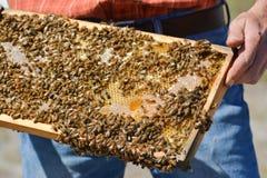 El apicultor está sosteniendo el panal del ` de las abejas con las abejas en su mano Imágenes de archivo libres de regalías