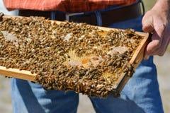 El apicultor está sosteniendo el panal del ` de las abejas con las abejas en su mano Fotografía de archivo