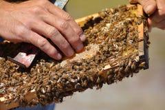 El apicultor está sosteniendo el panal del ` de las abejas con las abejas en su mano Fotos de archivo