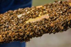 El apicultor está sosteniendo el panal del ` de las abejas con las abejas en su mano Fotos de archivo libres de regalías