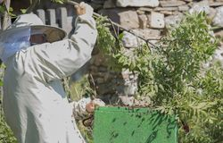 El apicultor está trabajando con las abejas del enjambre - mellifera de los apis Fotos de archivo