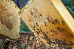 El apicultor está trabajando con las abejas y las colmenas en el colmenar Apicultor en el colmenar Imagen de archivo libre de regalías
