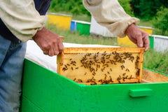 El apicultor examina abejas en panales En las manos de un panal con la miel Imagen de archivo libre de regalías