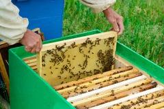El apicultor examina abejas en panales En las manos de un panal con la miel Imagen de archivo