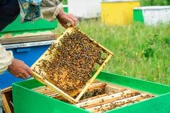 El apicultor examina abejas en panales En las manos de un panal con la miel Imágenes de archivo libres de regalías