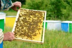 El apicultor examina abejas en panales En las manos de un panal con la miel Fotografía de archivo