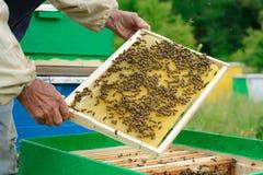 El apicultor examina abejas en panales En las manos de un panal con la miel Imagenes de archivo
