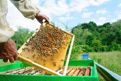 El apicultor examina abejas en panales En las manos de un panal con la miel Foto de archivo