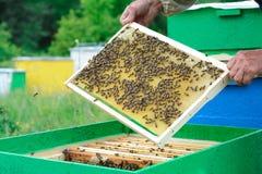 El apicultor examina abejas en panales En las manos de un panal con la miel Fotos de archivo