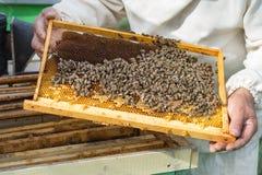 El apicultor examina el peine de la miel con las abejas en la colmena Imagen de archivo libre de regalías