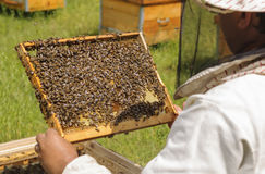 El apicultor examina la familia de la abeja Abejas de la célula Fotografía de archivo