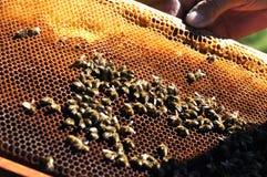 El apicultor guarda el marco con el panal Imagen de archivo libre de regalías