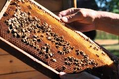 El apicultor guarda el panal, prepara la miel de la cosecha de la colmena Imagen de archivo libre de regalías