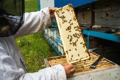 El apicultor guarda un marco con la miel sellada con la cera Foto de archivo