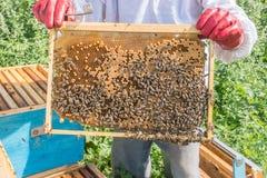 El apicultor guarda un marco con las larvas de abejas Los panales están desarrollando larvas de la futura generación de las abeja Fotografía de archivo libre de regalías