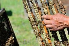El apicultor lleva a cabo a disposición un marco con el panal Imagen de archivo