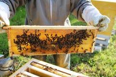 El apicultor lleva a cabo el marco con el panal Imagen de archivo libre de regalías