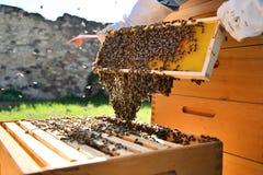 El apicultor lleva a cabo las células de una miel con las abejas en sus manos Fotografía de archivo