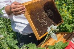 El apicultor lleva a cabo un marco de la colmena en sus manos Foto de archivo libre de regalías