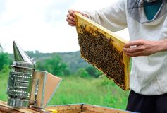El apicultor lleva a cabo una célula de la miel con las abejas en sus manos Apicultura Foto de archivo
