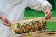 El apicultor lleva a cabo una célula de la miel con las abejas en sus manos Apicultura apiary Imagen de archivo