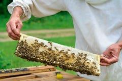 El apicultor lleva a cabo una célula de la miel con las abejas en sus manos Apicultura apiary Imagenes de archivo