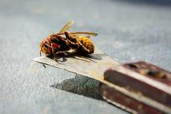El apicultor mató a los avispones que comieron abejas Avispón del asesino de abeja Apicultura Imagen de archivo