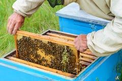 El apicultor mira sobre el panal con las larvas de una abeja colmena fotografía de archivo libre de regalías