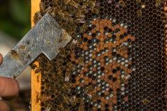 El apicultor muestra a la reina etiquetada de la abeja con la herramienta de la colmena Fotografía de archivo