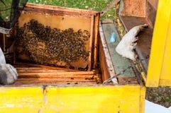 El apicultor prepara la miel de la cosecha de la colmena Fotos de archivo