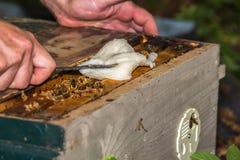 El apicultor proporciona abejas de la sucrosa Fotos de archivo