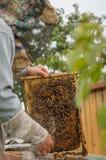 El apicultor que sostiene un panal con la miel y las abejas Condiciones caseras para las abejas de la cría Fotos de archivo