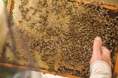 El apicultor recoge la miel de una colmena, en la cual muchas abejas Fotografía de archivo libre de regalías