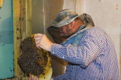 El apicultor recoge un enjambre de abejas Abejas salvajes establecidas en Imágenes de archivo libres de regalías