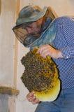 El apicultor recoge un enjambre de abejas Abejas salvajes establecidas en Fotografía de archivo