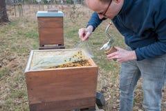 El apicultor se ocupa a su colonia de la abeja levantando una cubierta plástica Imagen de archivo libre de regalías