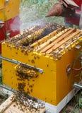 El apicultor sopla humo en marcos con las abejas en una colmena Fotografía de archivo libre de regalías