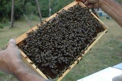 El apicultor y el marco con las abejas Fotos de archivo libres de regalías