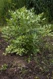 El apio de monte en el verde del jardín se va, officinale del Levisticum fotos de archivo libres de regalías