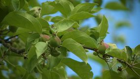 El apple-árbol floreciente almacen de video