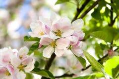 El apple-árbol floreciente Fotos de archivo