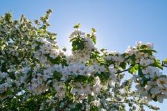 El apple-árbol floreciente Fotografía de archivo libre de regalías