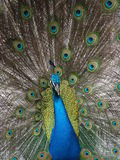 El apuntalar del pavo real Foto de archivo libre de regalías