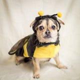 El apuro de la abeja del manosear Foto de archivo