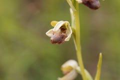 El araneola salvaje del Ophrys de la orquídea Fotos de archivo