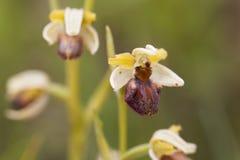 El araneola salvaje del Ophrys de la orquídea Fotos de archivo libres de regalías