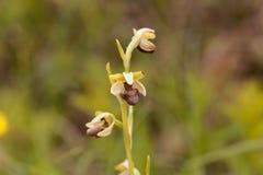 El araneola salvaje del Ophrys de la orquídea Imagen de archivo libre de regalías