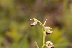 El araneola salvaje del Ophrys de la orquídea Foto de archivo